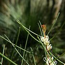 Harsh Hakea by catdot