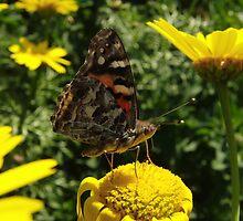 Australian Painted Lady Butterfly (Vanessa kershawi) - Adelaide, Australia by Dan & Emma Monceaux