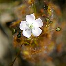 Drosera by catdot
