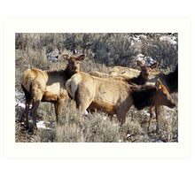 Elk Cows and Calves Art Print
