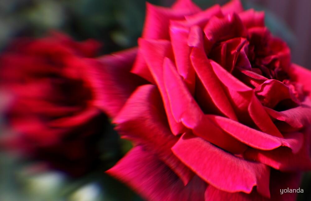Red Roses by yolanda