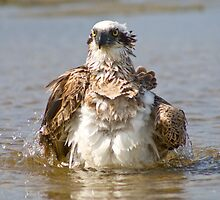 Osprey bath time  by Matt  Harvey
