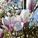 Magnolia in Bloom by funkybunch