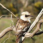 Kookaburra by Travis Graham