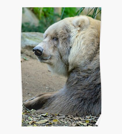 Old Kodiak Bear Poster