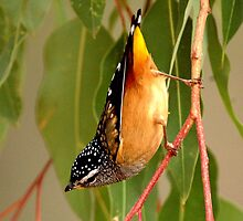 spotted pardalote (Pardalote punctatus) by Grandalf