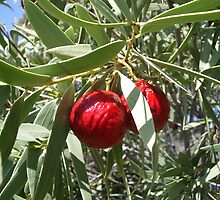 Quandong by yeuxdechat