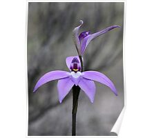 Wax Lip orchid Poster