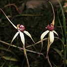 Pink-lipped Spider-orchid Pair by Barb Leopold