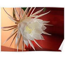 Night Blooming Cereus Plant Poster