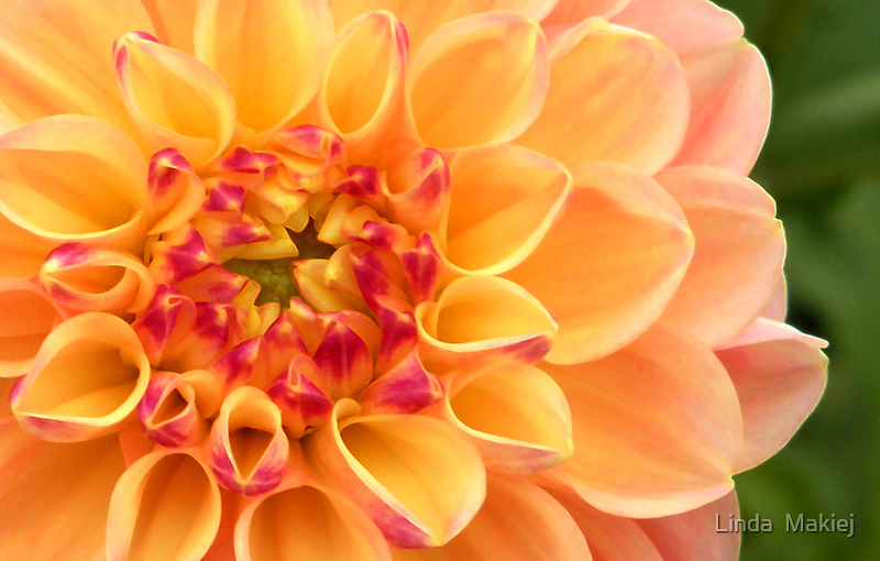 heart of a dahlia by Linda  Makiej
