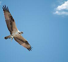 Osprey Bringing Home Dinner by imagetj