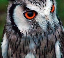 Owl Portrait by Darren Evans