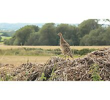 Such a pleasant pheasant Photographic Print
