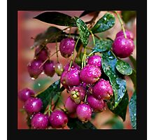 Berry Pink.... Photographic Print