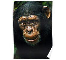 Baby Chimp Poster