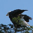 Bald Eagle by Brenda Boisvert
