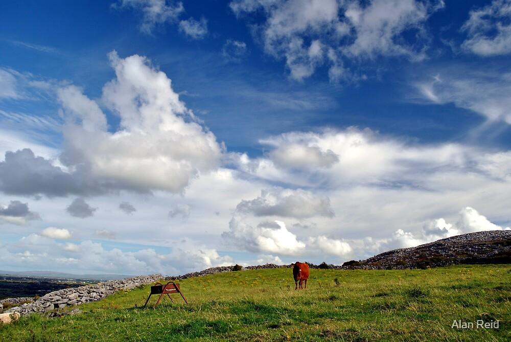 Lone cow by Alan Reid