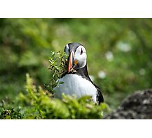 Puffin with Leaf Photographic Print