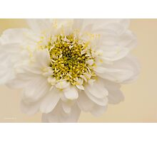 White Mini Chrysanthemum Macro Photographic Print