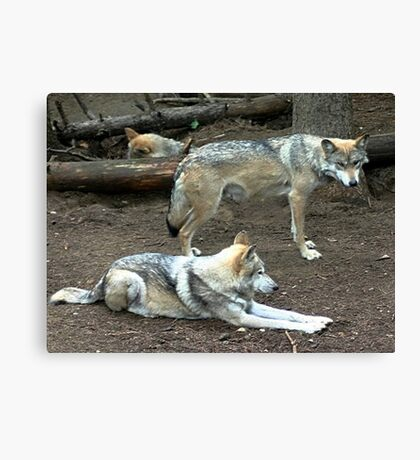 mexican red wolf pair Canvas Print