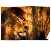 Magestic Pride - Adelaide Zoo Poster