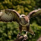 Buzzard stretching it's wing's. by neil270