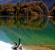 Geese on the shore of a mountain lake by alicara