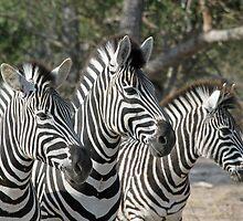 Zebra group up close by jozi1