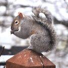 Grey Squirrel on a Post by Brad Sumner