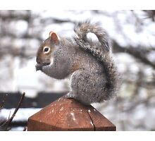 Grey Squirrel on a Post Photographic Print