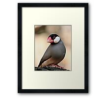 Java Finch Framed Print