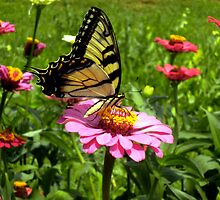 Butterfly and Zinnia by Rai Applebee Hall