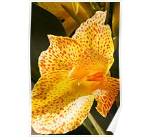 Canna Lily  Poster
