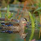 Woodduck Hen by gregsmith