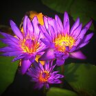 Lotus Flower - Mike Wharton by BVCC