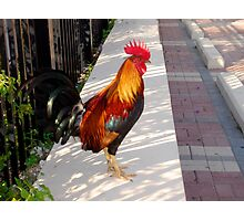 What's about all the Roosters in Key West, Florida Photographic Print