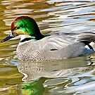 Falcated Duck by Kenneth Haley
