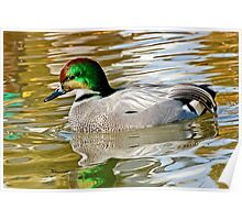 Falcated Duck Poster