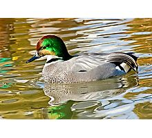 Falcated Duck Photographic Print