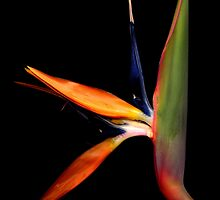 Bird of Paradise by vincefoto