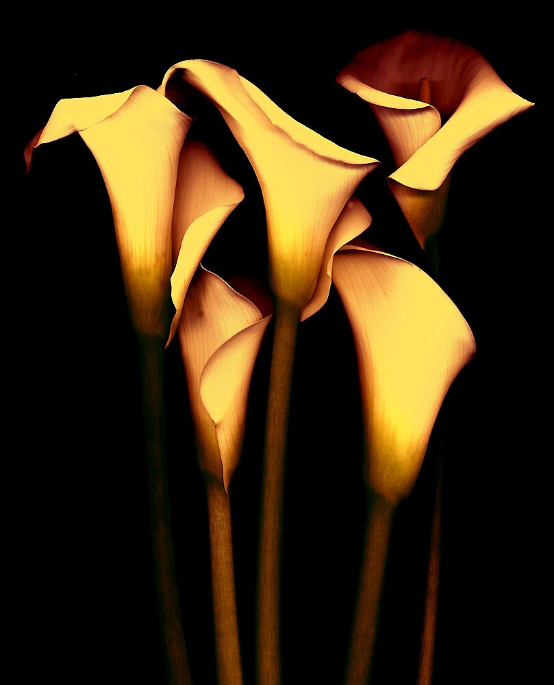 Yellow Calla  Lily by vincefoto