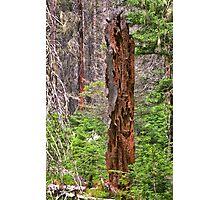 Decaying Tree Photographic Print