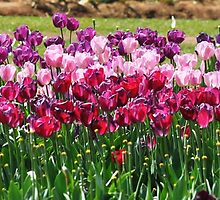 Panoramic Tulips by EJPhotography