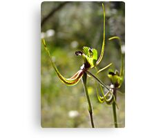 Small Matis Orchid, Caldenia attingens subsp. gracillima Canvas Print