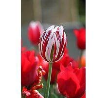 Multi-Coloured Tulip Photographic Print
