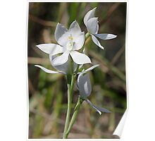 White Scented Sun Orchid Poster