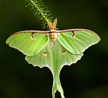 Luna Moth spreads his wings by Daniel Cadieux