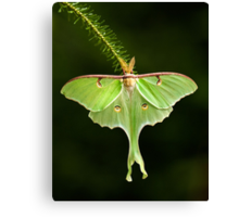 Luna Moth spreads his wings Canvas Print