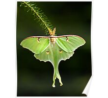 Luna Moth spreads his wings Poster